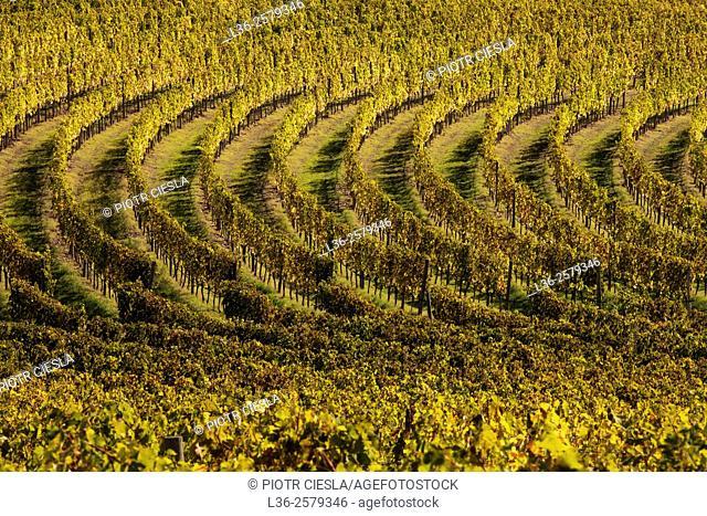 Tuscany. Wineyards