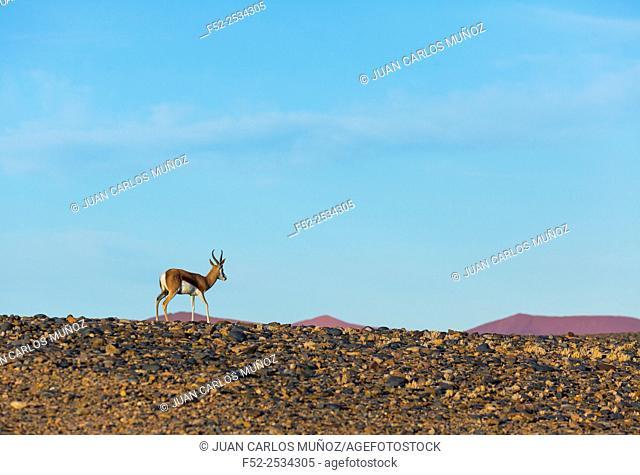 Springbok (Antidorcas marsupialis), Namib Naukluft National Park, Namibia, Africa
