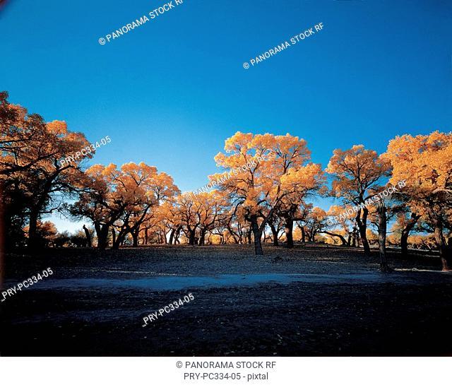 Diversiform-leaved poplar grove in inner Mongolia