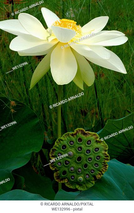 White Lotus and Pod
