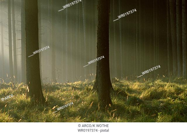 Sunrayes, in, Fir, Forest