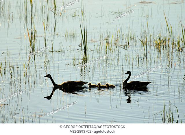 Canada geese, Kootenai National Wildlife Refuge, Idaho