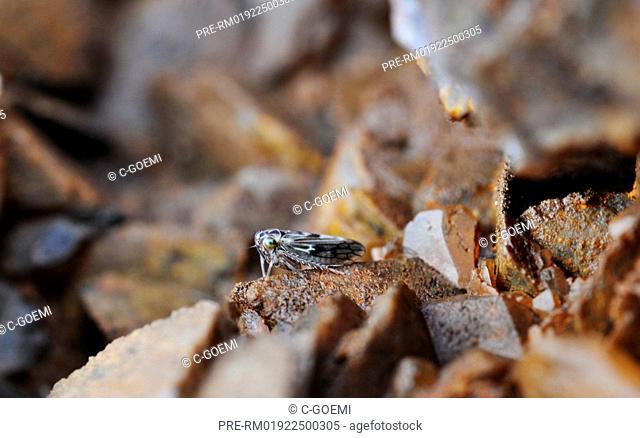 Cicada on calcite crystals, Auchenorrhyncha, Zikade auf Calcitkristallen