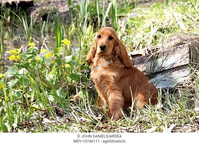 Cocker Spaniel Dog - puppy