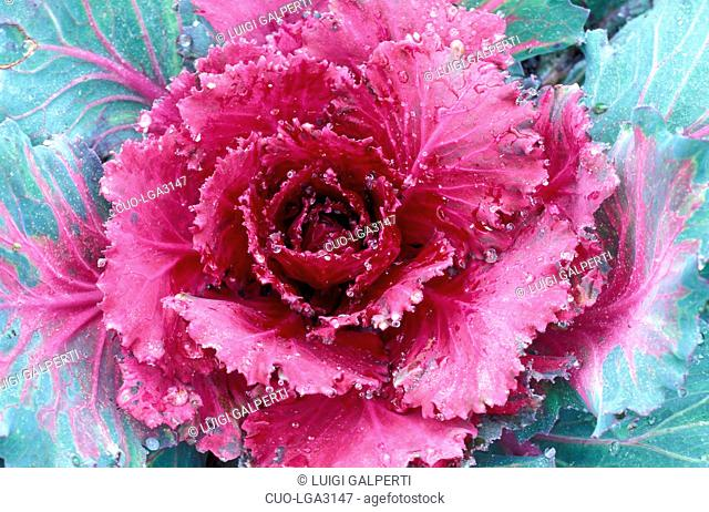 Ornamental cabbage, Italy
