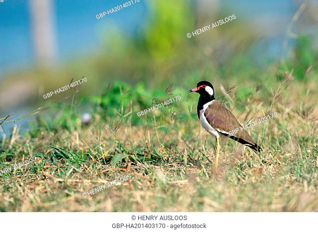 Thailand, Red-wattled Lapwing, Vanellus indicus, 06/01/2015