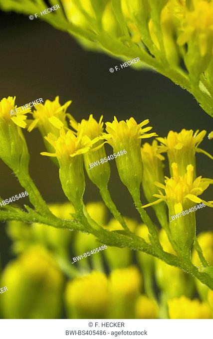 Canadian goldenrod, meadow goldenrod (Solidago canadensis), flowers, Germany