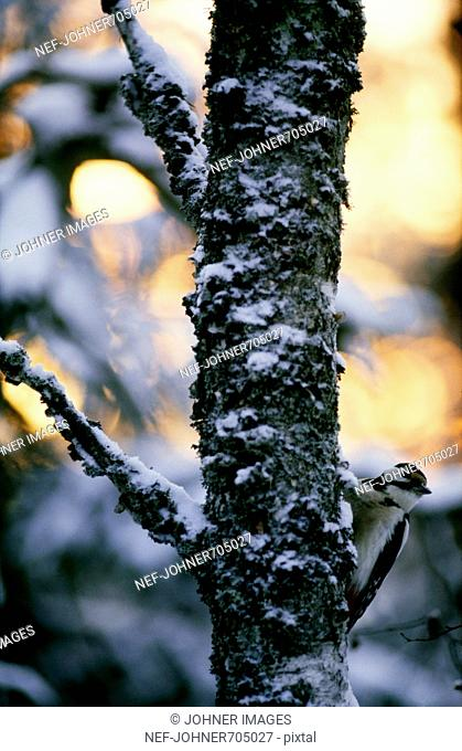 A Great Spotted Woodpecker in a tree, Finland