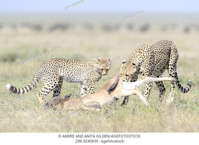 Female Cheetah (Acinonyx jubatus) mother with cub pulling a just killed wildebeest (Connochaetes taurinus) calf, Ngorongoro conservation area, Tanzania