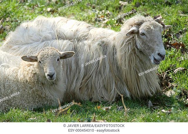 Sheep, Sierra de Aralar, Arraitz, near Zaldibia,Gipuzkoa, Euskadi, Spain