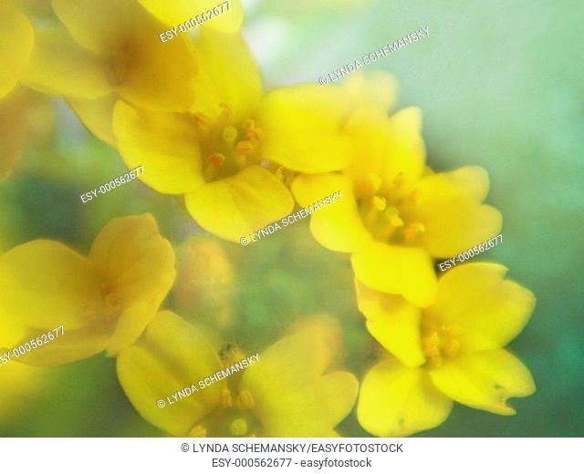 Gold alyssum Aurinia saxatilis, Alyssum saxatile, Bakset of Gold blooms