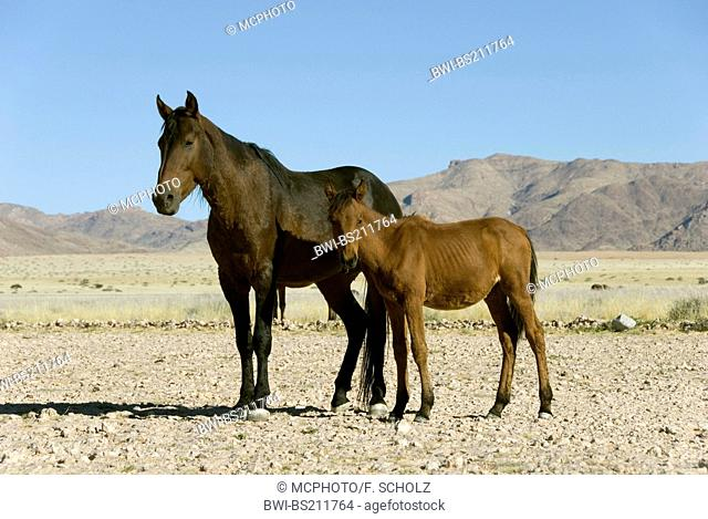 Namib Wild horse (Equus przewalskii f. caballus), mare with foal standing in the desert, Namibia, Garup