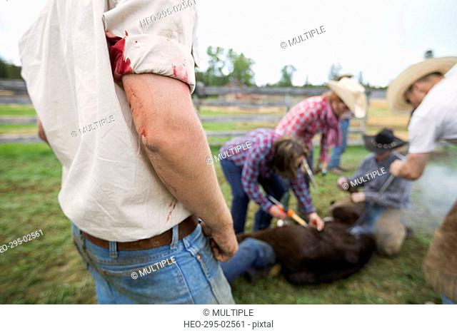 Bloody cattle rancher watching cow branding