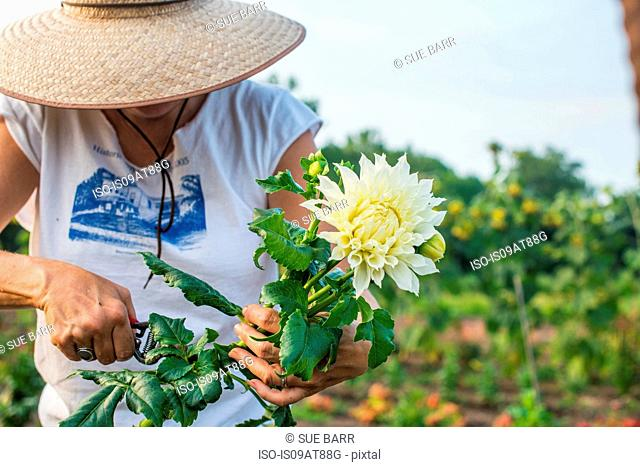 Senior female farmer pruning leaves from cut flower