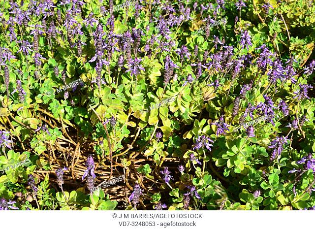 Lobster flower (Plectranthus neochilus) is perennial succulent plant native to southern Africa. . Flowering plant