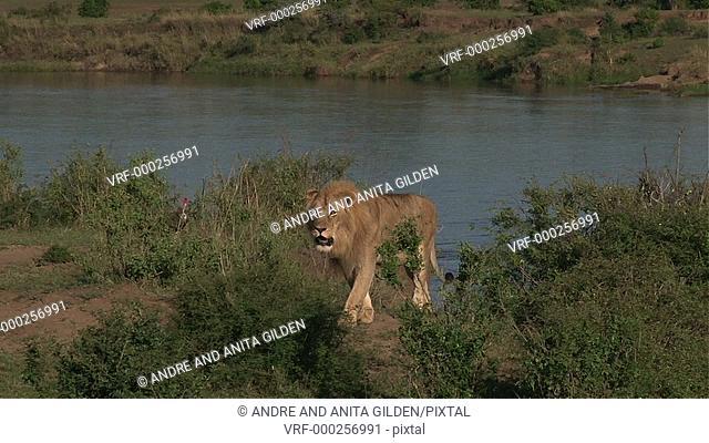 Lion ( Panthera leo) on Mara river bank of the serengeti, Tanzania, hiding behind shrubs,looking at camera, looking for prey