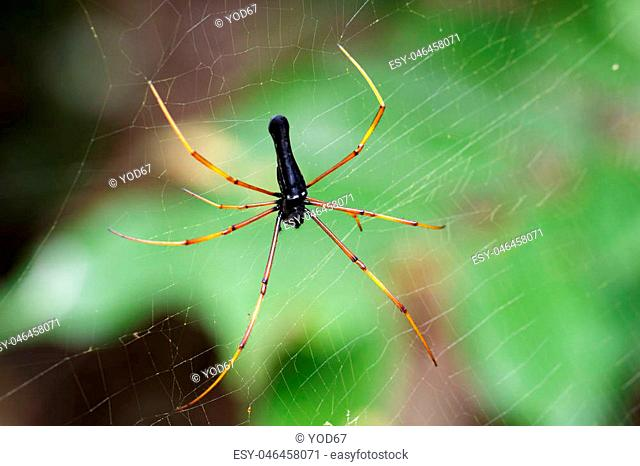Image of Black Orb-weaver Spider (Nephila kuhlii Doleschall, 1859) on the spider web. Insect Animal