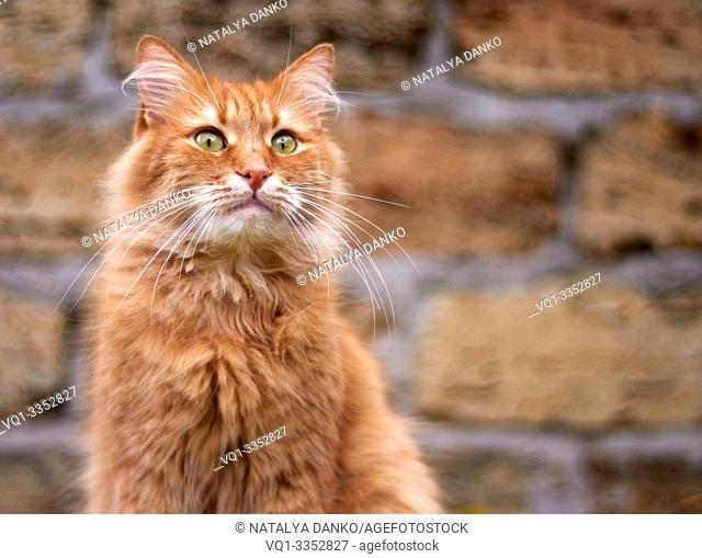 portrait of an adult fluffy red cat with green eyes, copy space