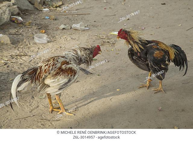 Roosters in training for cock fight in Bagan Myanmar