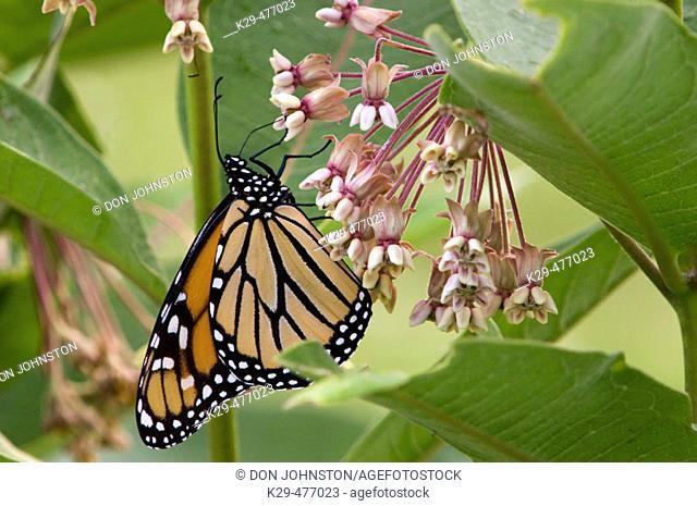 Monarch butterfly (Danaus plexippus), adult feeding on milkweed flowers. Lively, ON, Canada