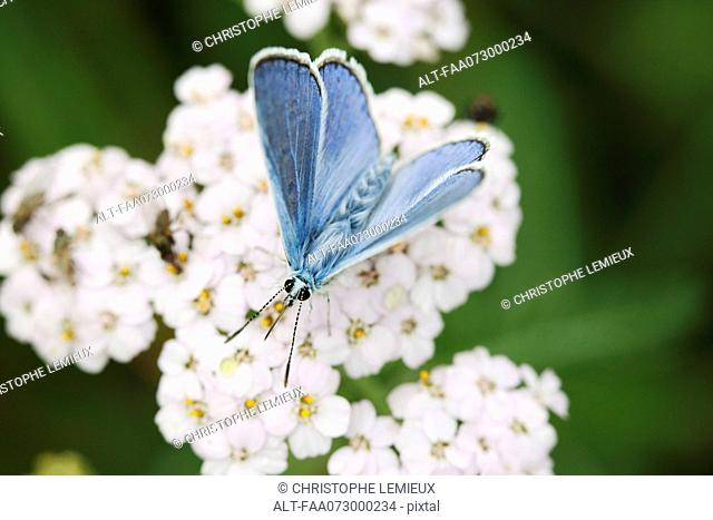Brown argus butterfly Aricia agestis