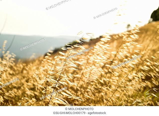 Field of Grain at Sunset, Close-Up