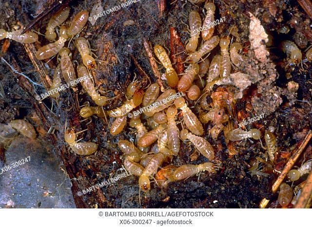 Termites (Reticulitermes lucifugus)