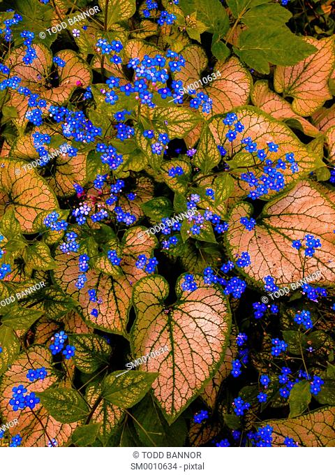 Forget me not flowers and Caladium leaves