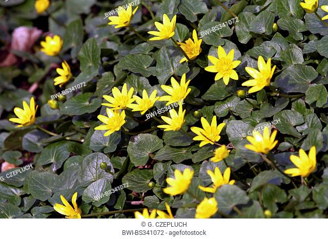 lesser celandine, fig-root butter-cup (Ranunculus ficaria, Ficaria verna), blooming, Germany