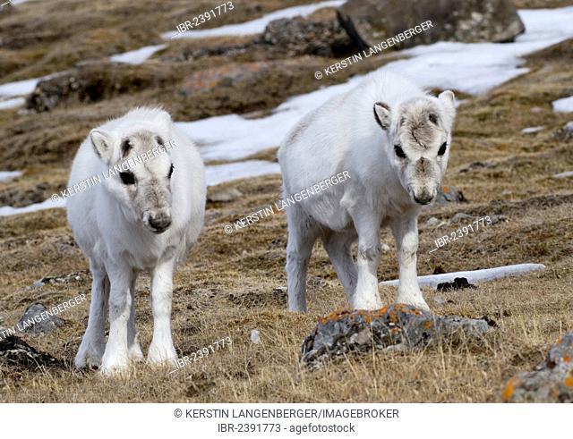 Two young Svalbard Reindeer (Rangifer tarandus platyrhynchus) in their winter coat, Gipsvika, Isfjorden, Spitsbergen, Svalbard, Norway, Europe