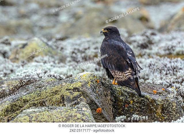 Augur buzzard (Buteo augur) melanistic form. Bale Mountains National Park. Ethiopia