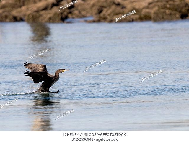 Cormorant - Phalacrocorax carbo - Netherlands