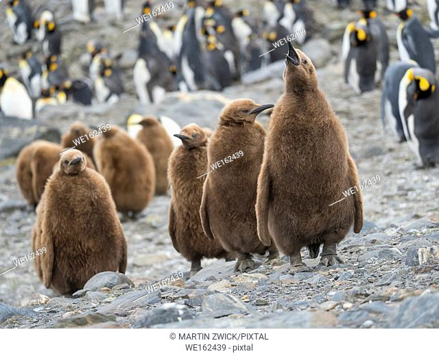 King Penguin (Aptenodytes patagonicus) on the island of South Georgia, the rookery in St. Andrews Bay. Chick in typical brown plumage Antarctica, Subantarctica