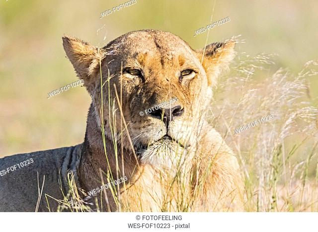 Botswana, Kgalagadi Transfrontier Park, portrait of lioness