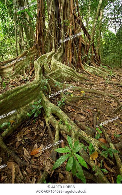 Strangler Fig, Osa Peninsula, Central America, Costa Rica