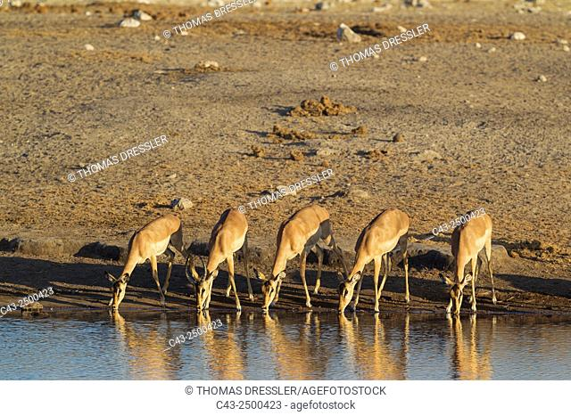 Black-Faced Impala (Aepyceros melampus petersi) - Group of females and one juvenile male (second from left with horns) drinking at a waterhole