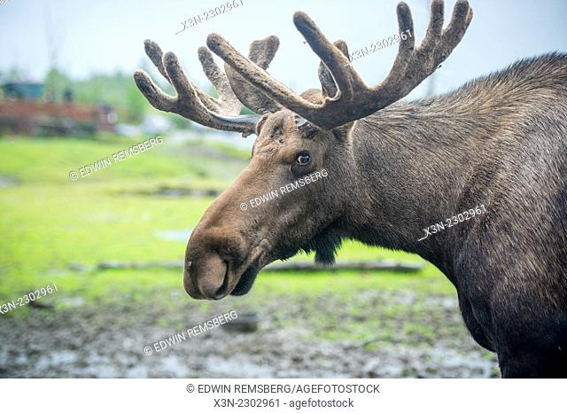 Moose (Alces Alces) in Alaska