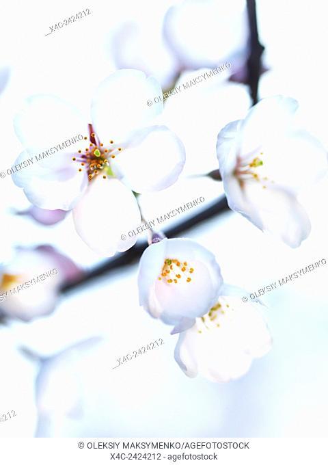 Beautiful white flowers of Japanese sakura cherry blossoms