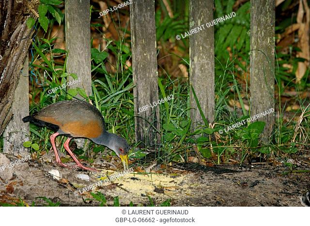 Bird, Saracura-three-pots, Râle Cayenne, Ilha do Mel, Encantadas, , Paraná, Brazil