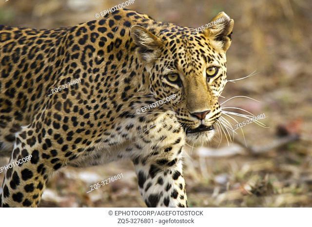 Leopard, Panthera pardus, Panna National Park, MadhyaPradesh, India