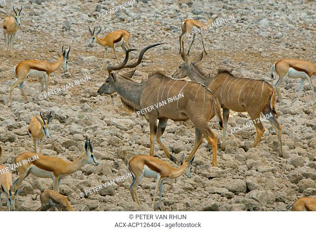 A male and female Greater Kudu (Tragelaphus Strepsiceros) (large antelope) are surrounded by Springbok (smaller antelope) as they walk away from a water hole in...