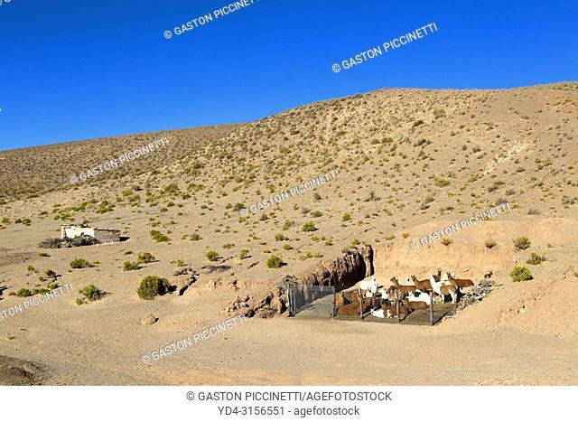 Llamas (Lama glama), National Route 51, La Puna, Salta, North West, Argentina . This route go from Salta to San Antonio de los Cobres
