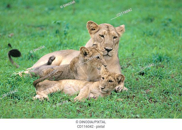 Asian lions (Panthera leo persica). Gir National Park and Lion Sanctuary. India