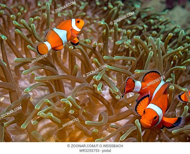 Clown - Anemonenfisch (Amphiprion ocellaris)