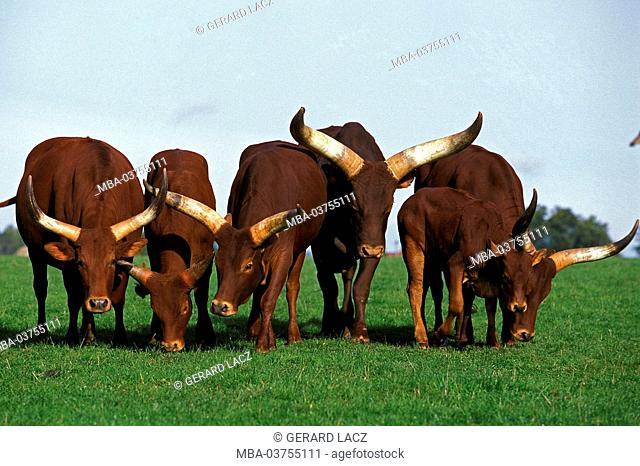 Watussi, bos primigenius taurus, Herd