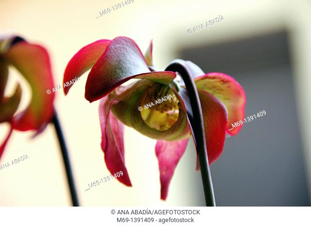 Flowers of carnivorous plant Sarracenia