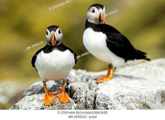 Puffins (Fratercula arctica), Farne Islands, Northumberland, England, United Kingdom