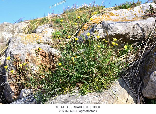Slender sowthistle (Sonchus tenerrimus) is an annual or perennial herb native to Mediterranean Basin. This photo was taken near Pals, Girona province, Catalonia
