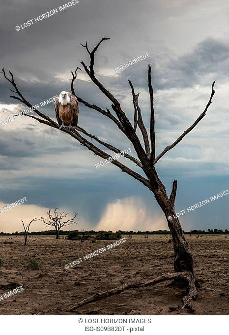 Vulture perched in dead tree, Yaro, Okavango, Namibia, Africa