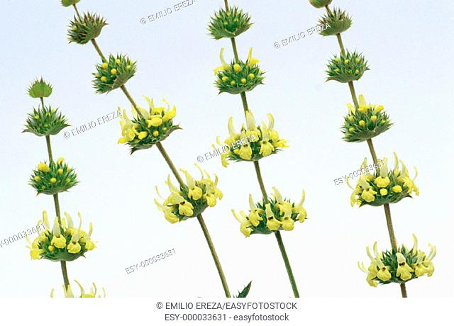 Sideritis angustifolia